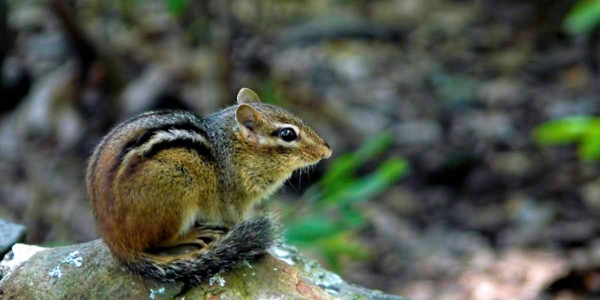 Chipmunk removal in minneapolis