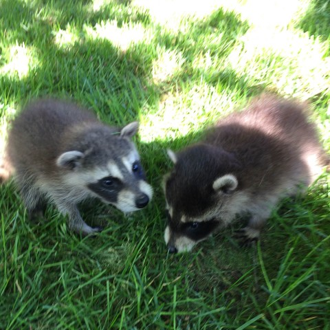 We specialize in removing raccoons in the attic
