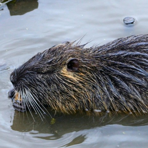 Having beaver problems? We can get rid of beavers for you.
