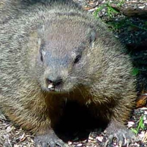 Professional woodchuck removal service
